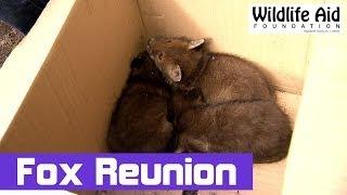 Cheeky fox cubs waiting for their mum