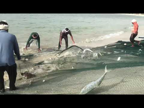 Huge Fishing In UAE Sea Beach