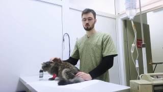 Обработка швов кошке после стерилизации