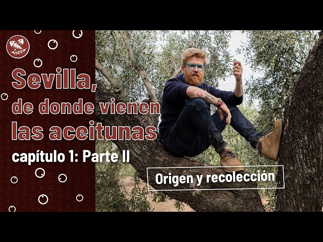 Sevilla, de donde vienen las aceitunas   Capítulo 1 (parte II): Origen y recolección