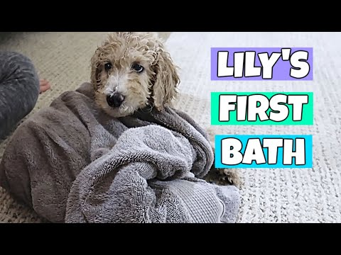 Puppy's First Bath! Cutest 7 Week Old Standard Poodle!