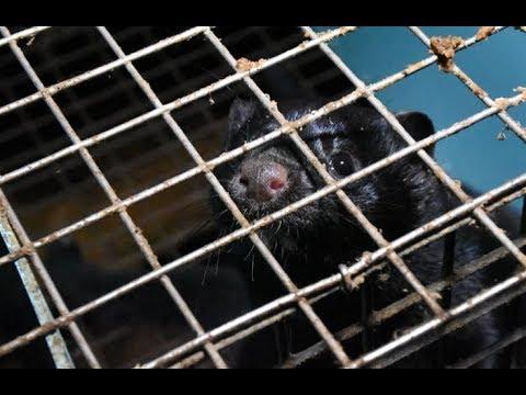 Appalling Conditions Exposed at Mink Farm   Walt Freeman KIngston Area, ON   CANADA