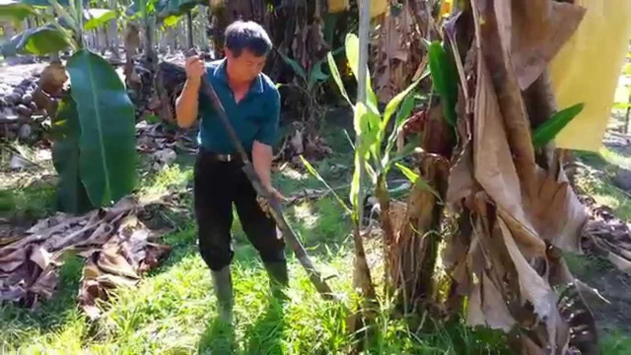 農人的好幫手----簡便輕鬆挖起農作物(例如~香蕉苗)的器具 - YouTube