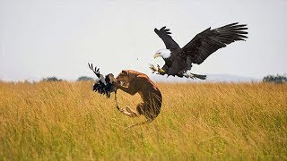 Lions vs Eagle - Watch What Happened In The End!!