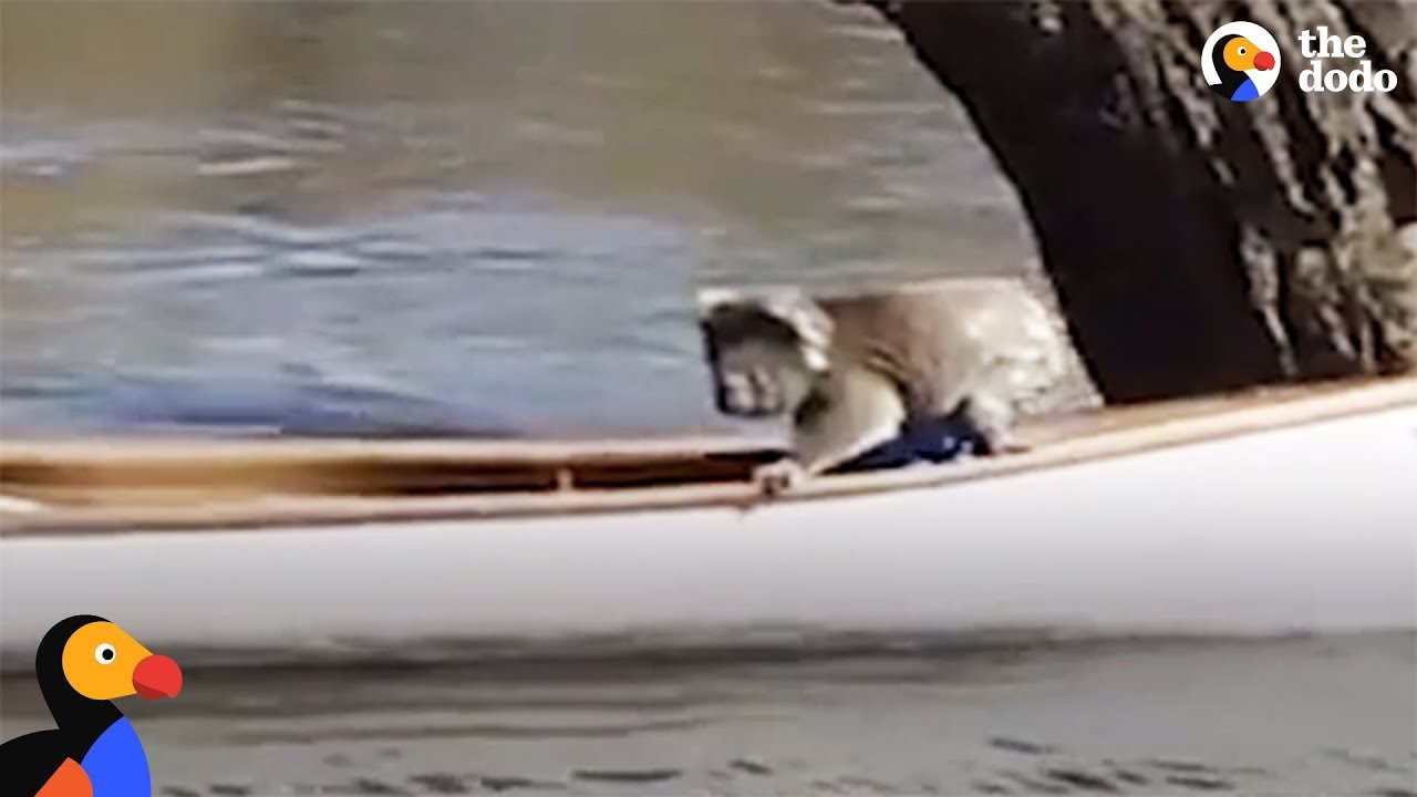 Koala Bear Stranded In Tree Gets Rescued In A Canoe