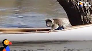 Koala Bear Stranded In Tree Gets Rescued In A Canoe   The Dodo