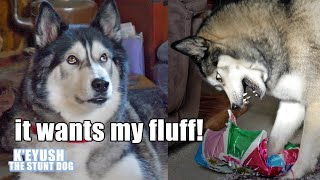 husky-s-funny-reaction-to-balloon-he-was-spooked-so-funny