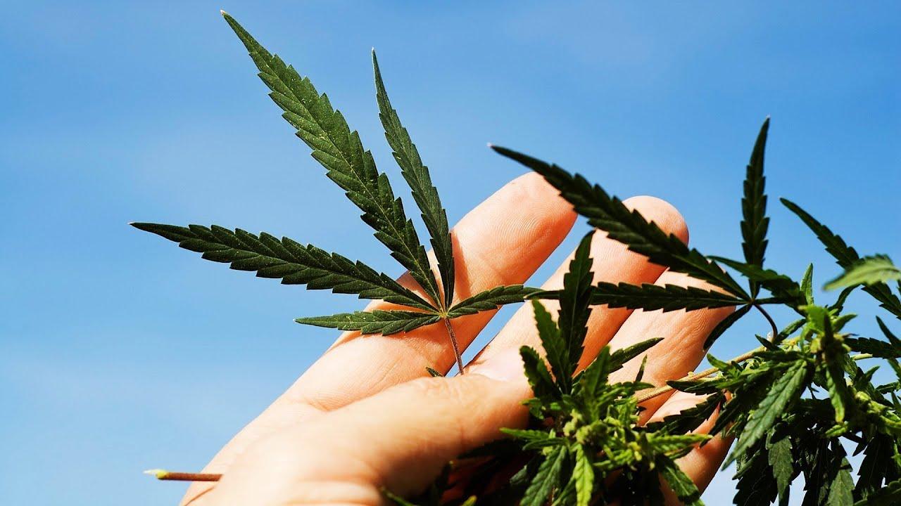 Конопля в руками от марихуаны рак яичек
