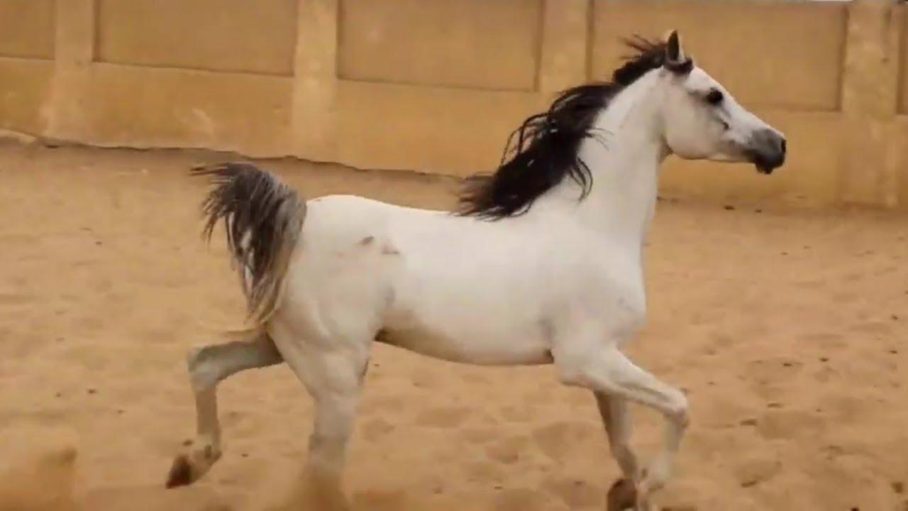 للبيع حصان عربي اصيل كسبان بطوله جمال مقاس عالي Youtube