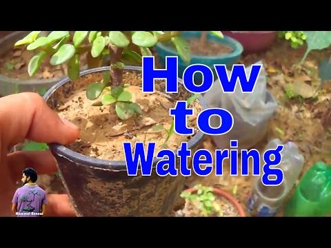 पौधो को पानी कब और कैसे दे /How to Watering in your Plants In Summer -22th May 2017/ Mammal Bonsai - 동영상