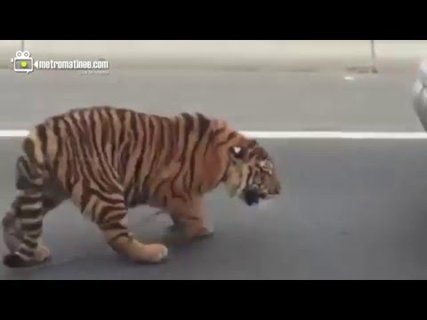Escaped tiger appears on Doha Qatar  Highway And Becomes Social Media Star