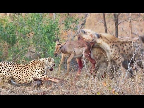 Cheetahs and Hyenas Eat Impala Alive