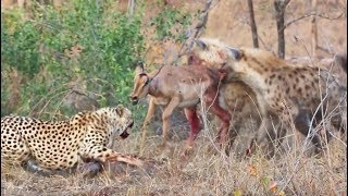 cheetahs-and-hyenas-eat-impala-alive