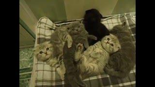 Шотландские котята. Возраст 1,5 мес.