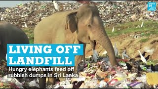 Living off landfill: Hungry elephants feed off rubbish dumps in Sri Lanka