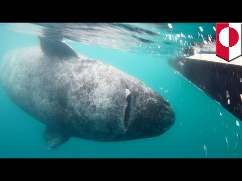 Oldest living animal: Is this Greenland shark really 512 years old? - TomoNews
