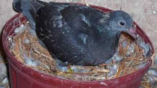 Day to Day pigeon growth progress