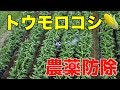 アスパラ支柱立てとトウモロコシ防除#111 の動画、YouTube動画。