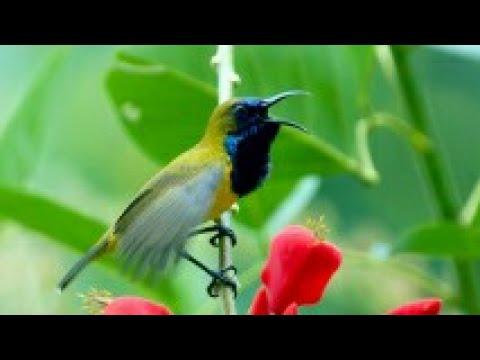 Burung Sogok Ontong Untuk Pikat Dan Pancingan Bunyi