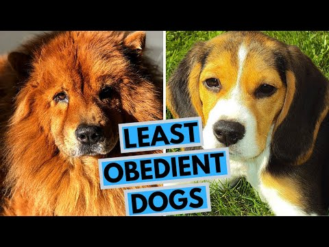 top-10-least-obedient-dog-breeds