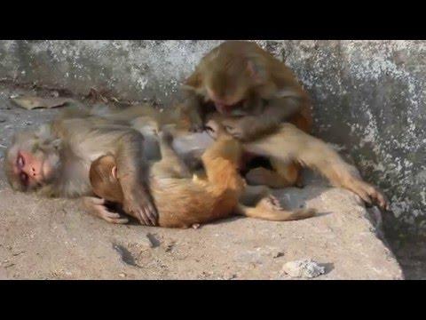 Les singes qui se font une séance trie de poux