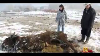 Unexplained Cattle Mutilations british Documentary Part 1