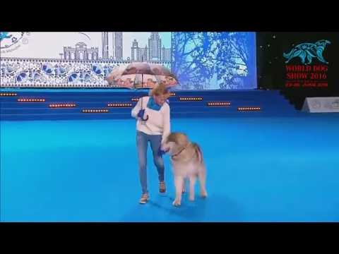 FCI Dog dance World Championship 2016 –Heelwork to music final - Ilina Polina and Indi (Russia)