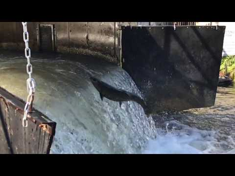Salmon fish ladder at the bonneville dam and salmon for Bonneville dam fish counts 2017
