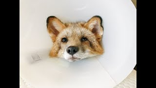 Fig The Fox Gets Neutered
