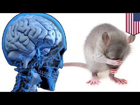 Scientists put human brain in mouse, rodent still dumb AF - TomoNews
