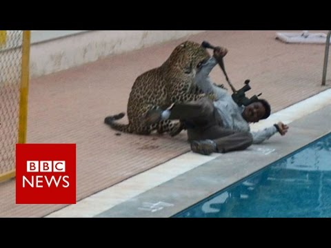Indian leopard on the loose ... again - BBC News