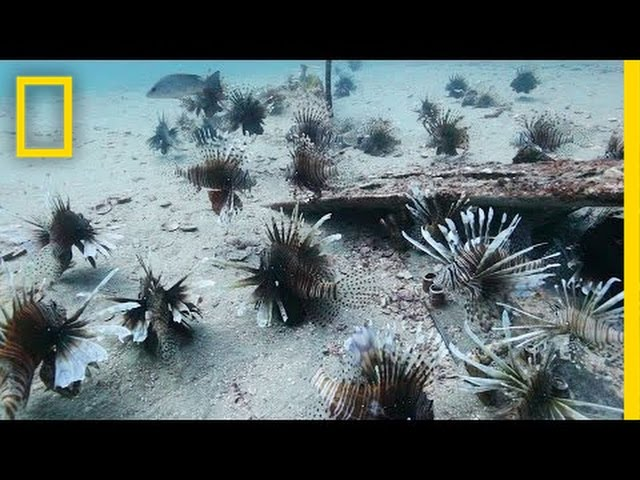 Divers Fight the Invasive Lionfish | National Geographic