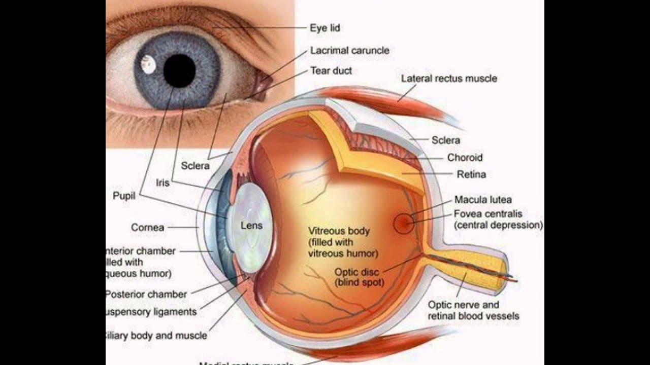 Function Of The Eye Parts - YouTube
