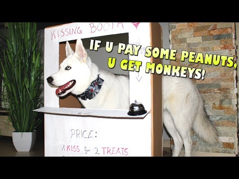 My Husky runs her own Business! Kissing Booth!