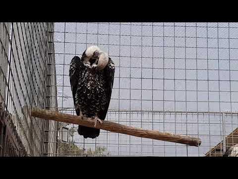 Ruppell's griffon vulture