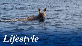 Moose swimming in Ramsey Lake