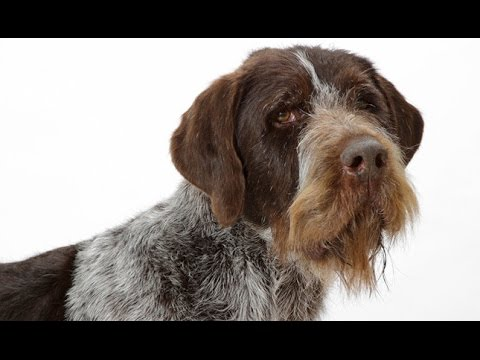 German Wirehaired Pointer (Deutsch Drahthaar) - Dog Breed