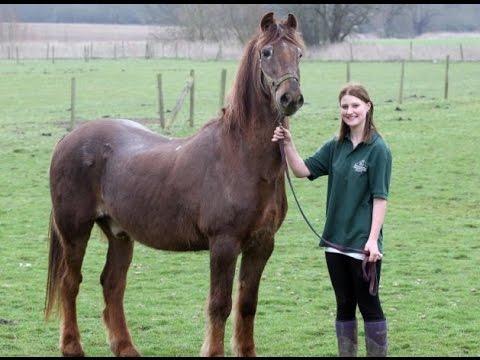 World S Oldest Horse Trots His Final Furlong Irish Draught Shayne
