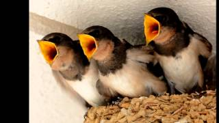 【可愛い野鳥ツバメの子育て観察記録】 2014年 ツバメの巣作り~子育て...