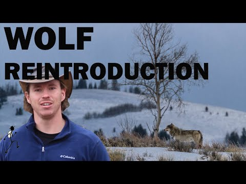 Wild Facts Ep 8: Yellowstone Wolf Reintroduction