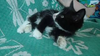 Плюшевые чёрно-белые  котята в добрые руки!