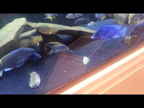 Cichlid express fish unboxing part 1