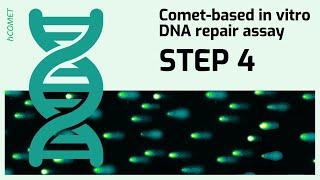 STEP 4: Incubation reaction // Comet-based in vitro DNA repair assay