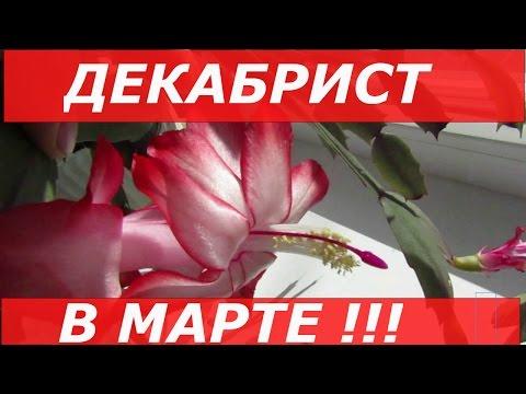 Декабрист Цветёт в Марте / Зигокактус