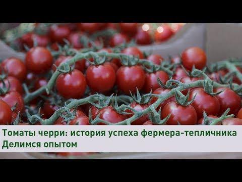 Выращивание томатов черри: история успеха фермера-тепличника | Делимся опытом