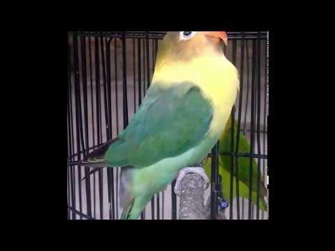 KHUSUS Untuk Memperbaiki MENTAL Lovebird Yang RUSAK, Dengarkan Suara Ini Pasti SEMBUH