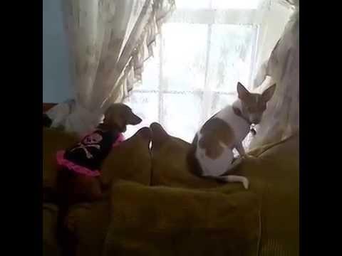 *-urgent!!!-help-potty-training-a-chihuahua-puppy!?