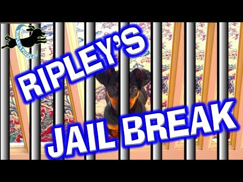 The Jail Break - Ripley And Friends Try To Solve a DIY Household Puzzle