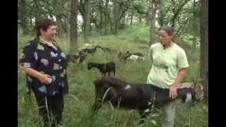 Grazing GOATS provide green solution to buckthorn and other invasive plant species thumbnail