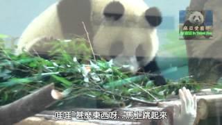 20141026圓仔嚇一跳The Giant Panda Yuan Zai
